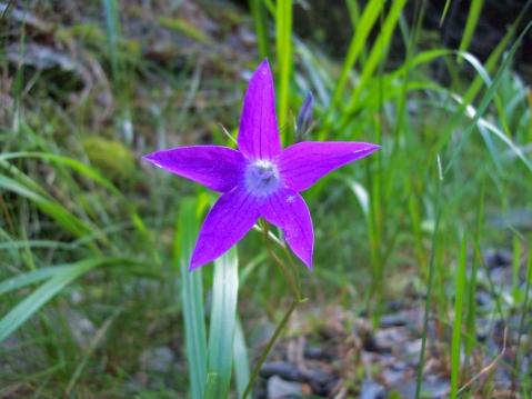 floare munţii Parâng