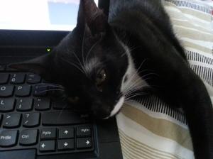 pisica pe tastatura